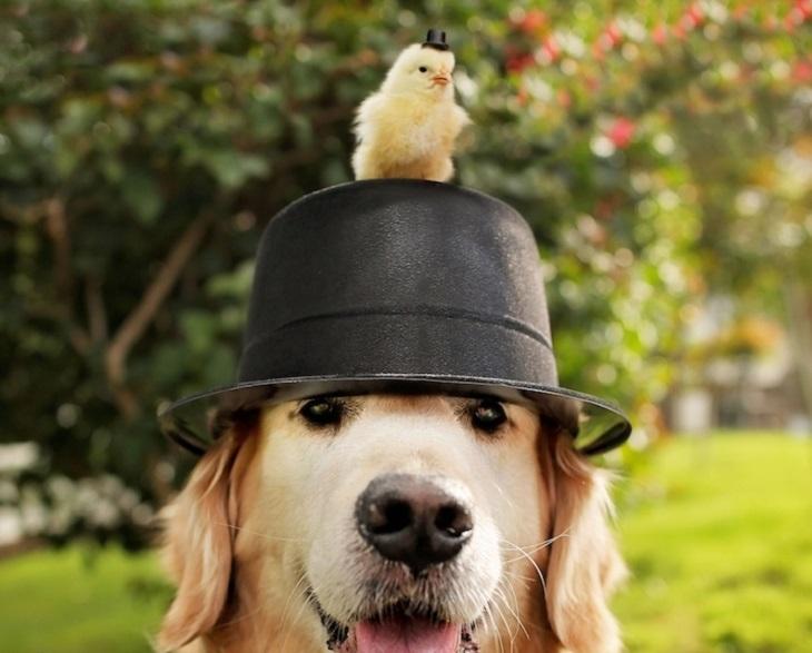 חיות חמודות בכובעים: כלב חובש כובע שעליו אפרוח עם כובע קטן