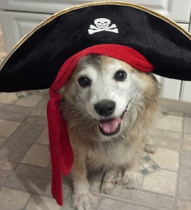 חיות חמודות בכובעים: כלב עם כובע פיראט