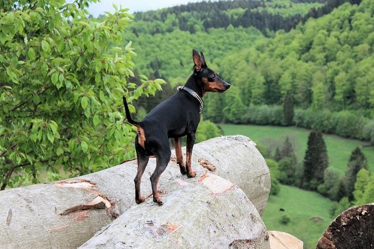 מידע חשוב על כלבים: כלב פינצ'ר עומד על גזע עץ