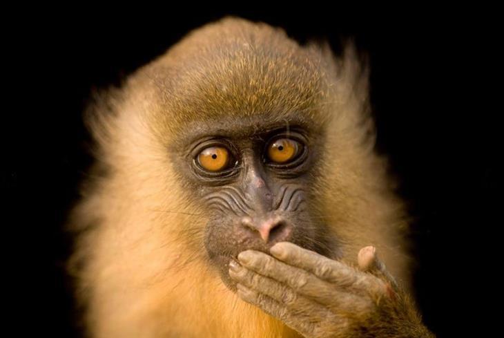 תמונות לשימור בעלי חיים: מנדריל צעיר