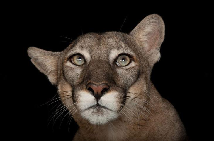 תמונות לשימור בעלי חיים: פומת פלורידה