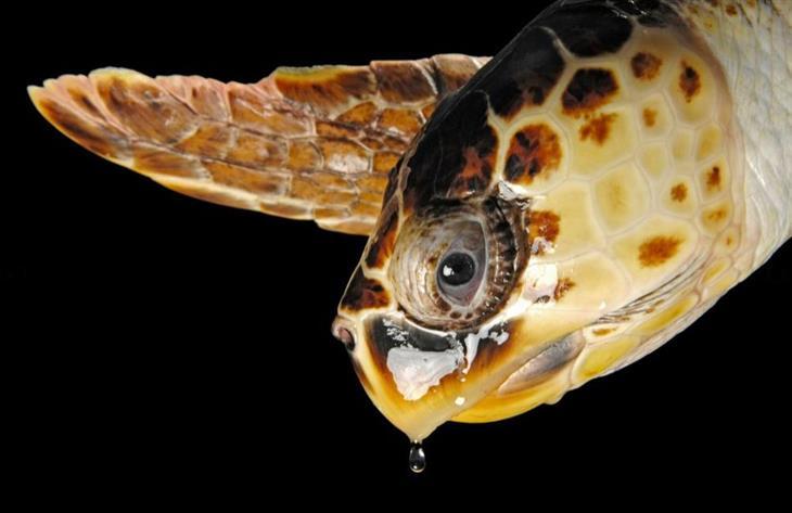 תמונות לשימור בעלי חיים: צב ים חום