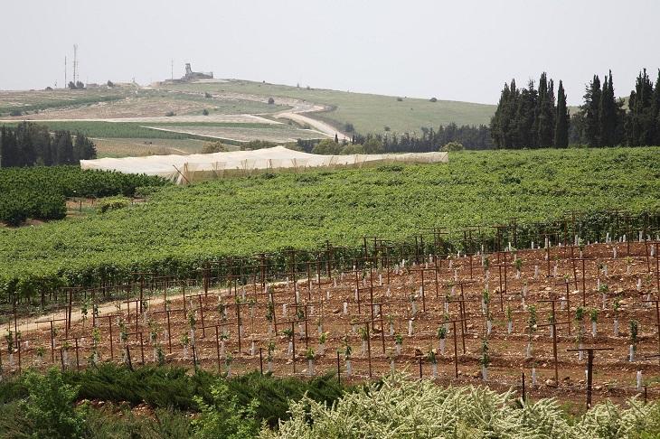 קיבוצים ושדות בישראל: גפנים בקיבוץ יראון