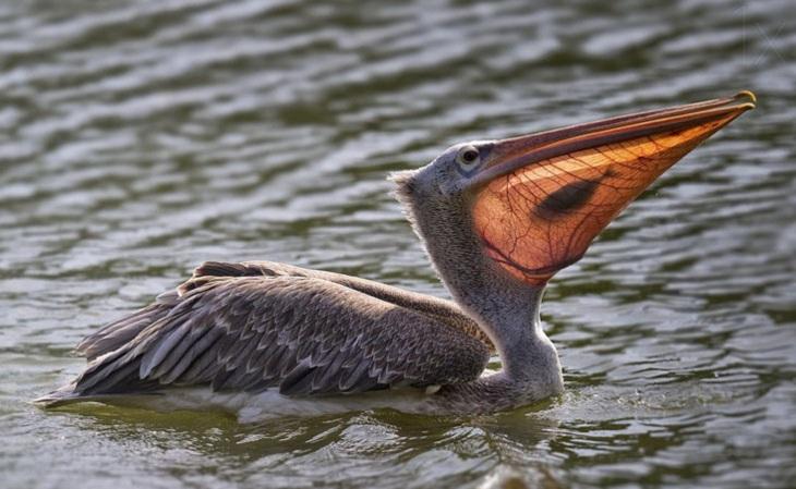 תמונות טבע כובשות עין: דג לכובד בתוך השק הצווארי של שקנאי