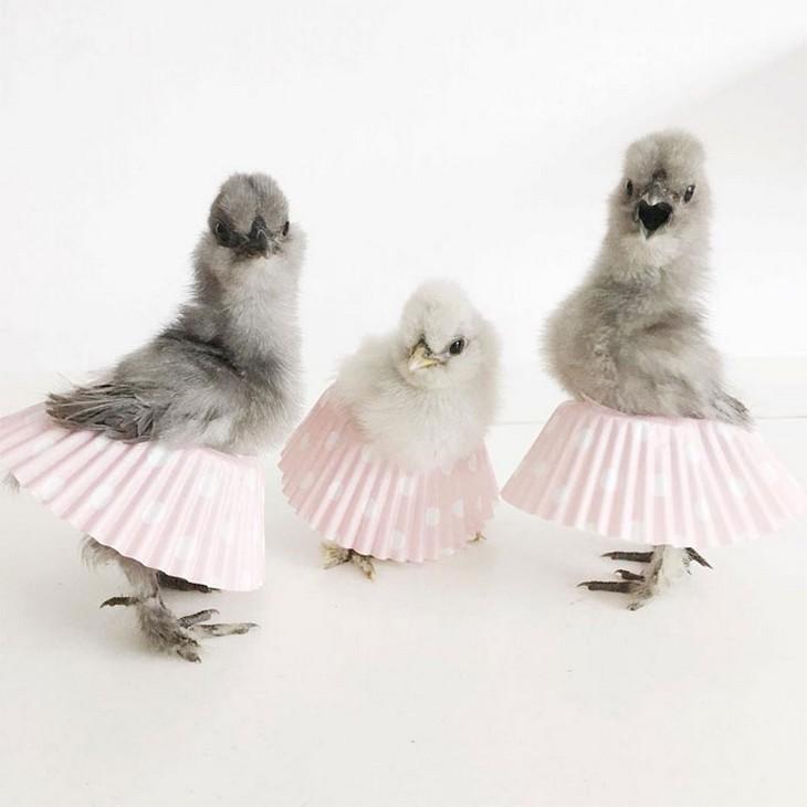 תרנגולות בחצאיות טוטו: שלושה אפרוחים בחצאיות טוטו