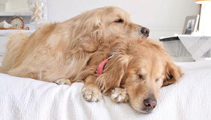 הכלב העיוור שיש לו כלבת נחייה: ג'ייק והדי מתכרבלים במיטה