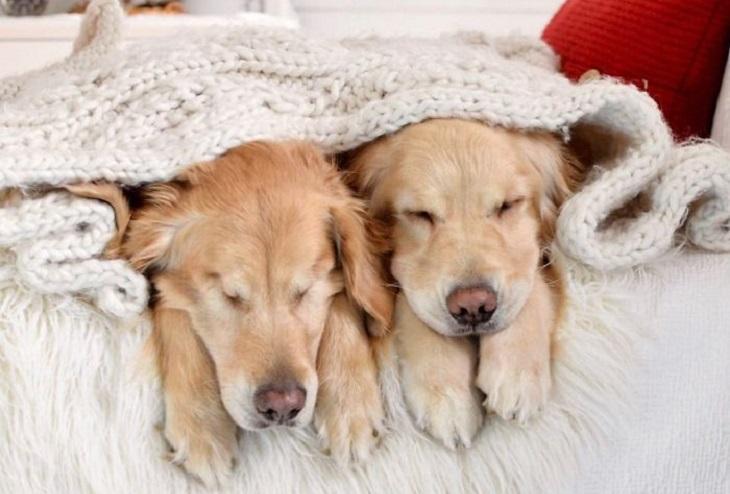 הכלב העיוור שיש לו כלבת נחייה: ג'ייק והדי שוכבים יחד תחת שמיכת צמר