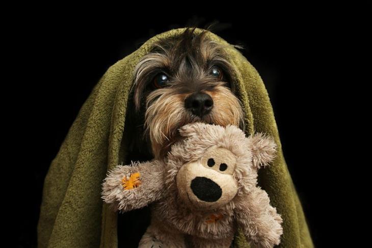 תחרות צילום כלבים: כלב עם מגבת על הראש ובובת דובי בפה