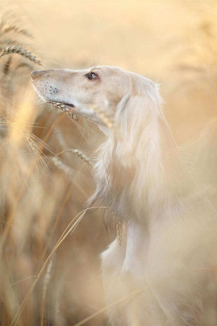 תחרות צילום כלבים: פרופיל של כלב בשדה חיטה