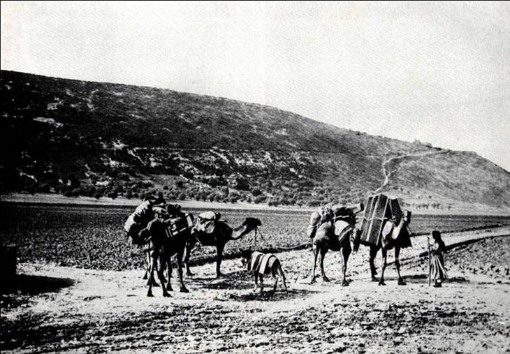 תמונות היסטוריות של חיפה: גמלים מתהלכים באזור שבו קיימת כיום שכונת קריית אליעזר. שנת 1900.