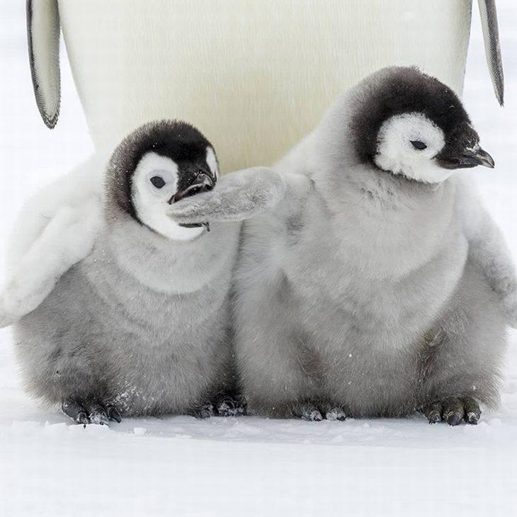 חיות חמודות שיגרמו לכם לשכוח מהצרות: פינגווין צעיר נושך כנף של פינגווין צעיר אחר