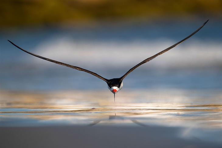 """תחרות """"צלם הציפורים של השנה 2019"""": עוף מים מזן גזרן אמריקאי מתעופף מעל קו המים"""