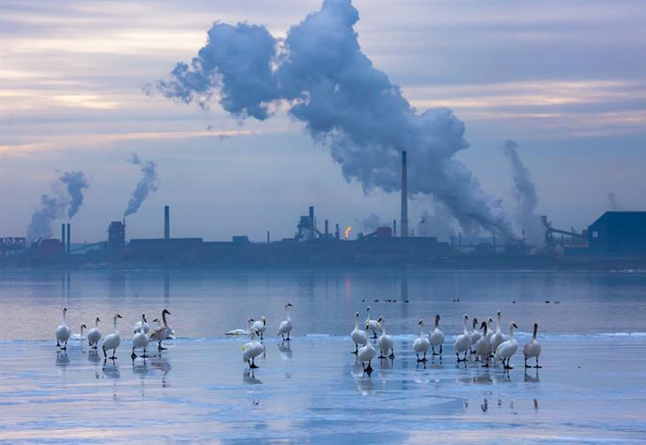 """תחרות """"צלם הציפורים של השנה 2019"""": להקת ברבורים מחצררים עומדת במימי ימת אונטריו ומאחוריהם מפעלים מעלי עשן"""
