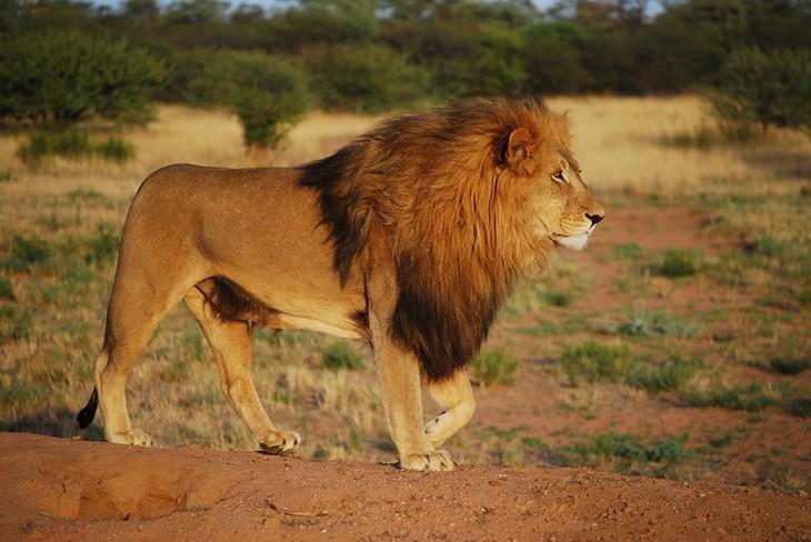 עובדות על אריות: אריה