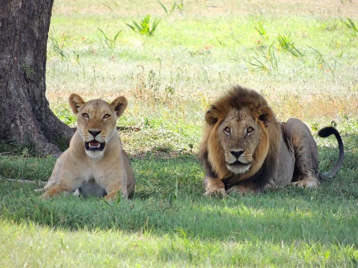 עובדות על אריות: אריה ולביאה שוכבים זה לצד זה