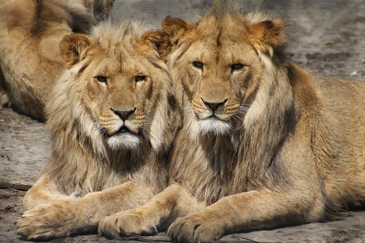 עובדות על אריות: שני אריות יושבים זה לצד זה