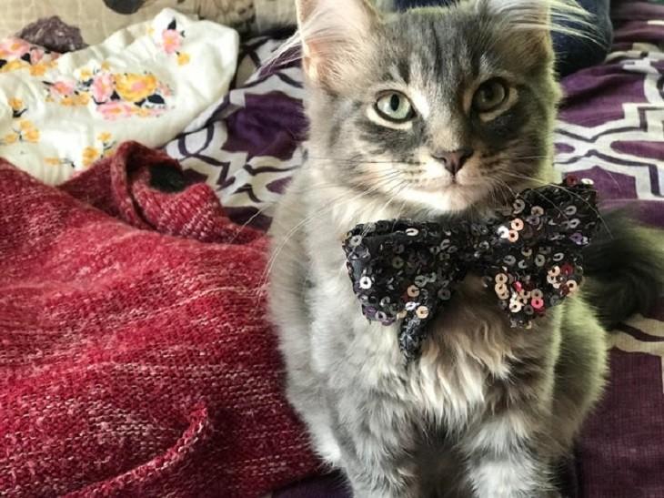 חתלתולים חמודים: חתול עם עניבת פרפר