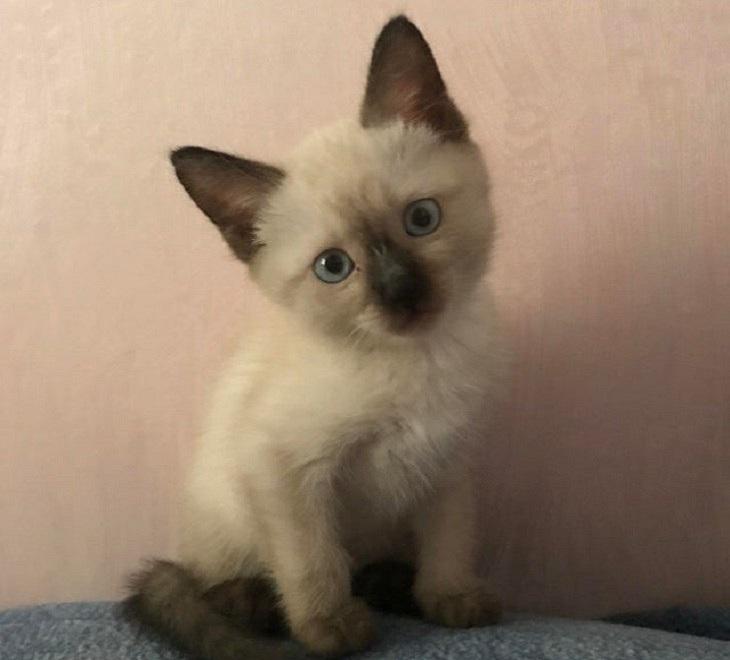 חתלתולים חמודים: חתול סיאמי