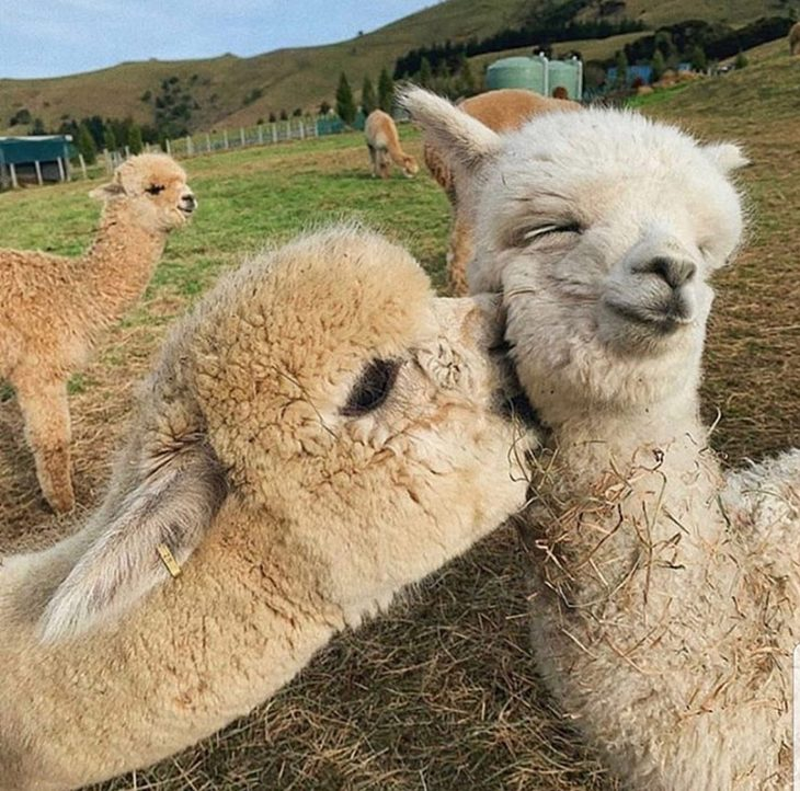 תמונות של בעלי חיים חמודים: אלפקה מעניקה נשיקה לאלפקה אחרת