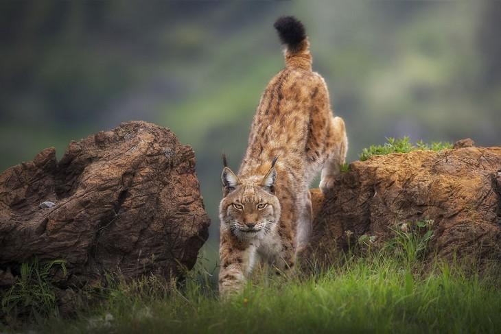 תמונות מדהימות: שונר במסע ציד שתועד בפארק לאומי בספרד