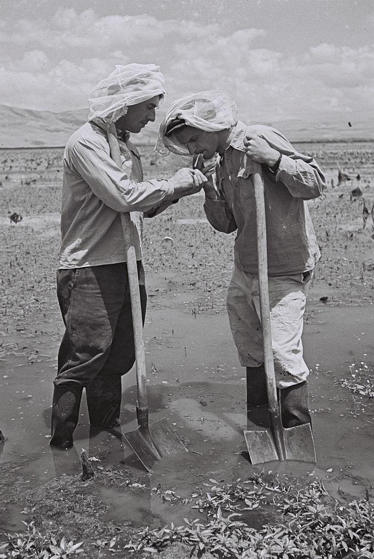 תמונות נוסטלגיות מקיבוצים: חלוצים מקיבוץ עמיר עובדים בביצת החולה ומציתים סיגרייה