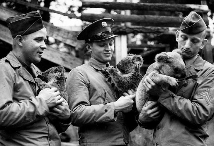 תמונות היסטוריות מדהימות: חיילים אמריקאיים מחבקים קואלות באוסטרליה - 1942.