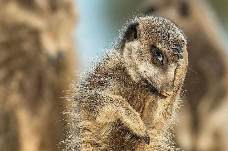 חיות מצחיקות: סוריקטה מסתכלת ושמה את היד על הראש