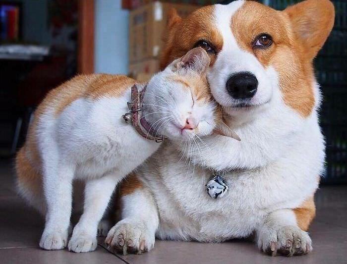 חברויות חמודות בין חיות שונות: כלב וחתול