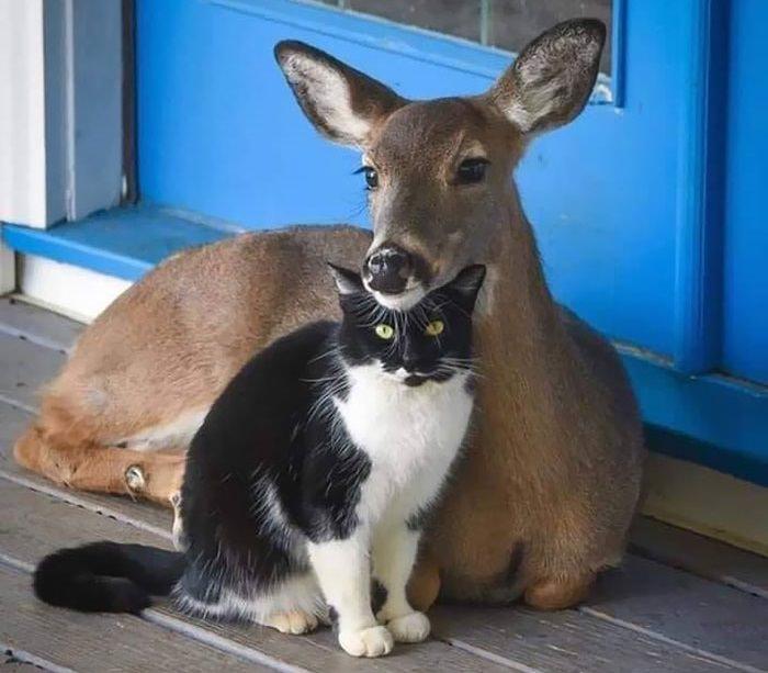 חברויות חמודות בין חיות שונות: חתול ואיילה