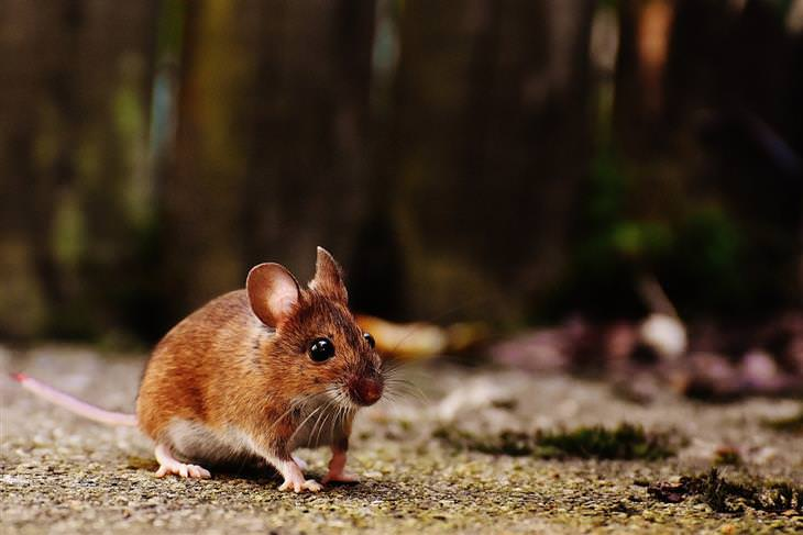 מה מושך עכברים לבית: עכבר