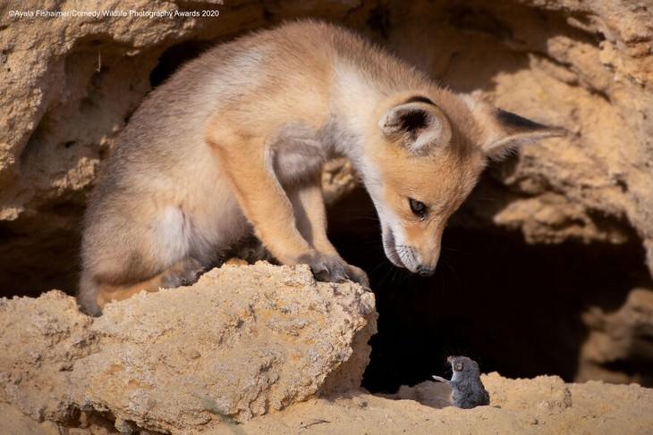 תמונות מצחיקות של חיות: גור שועל ומכרסם קטן