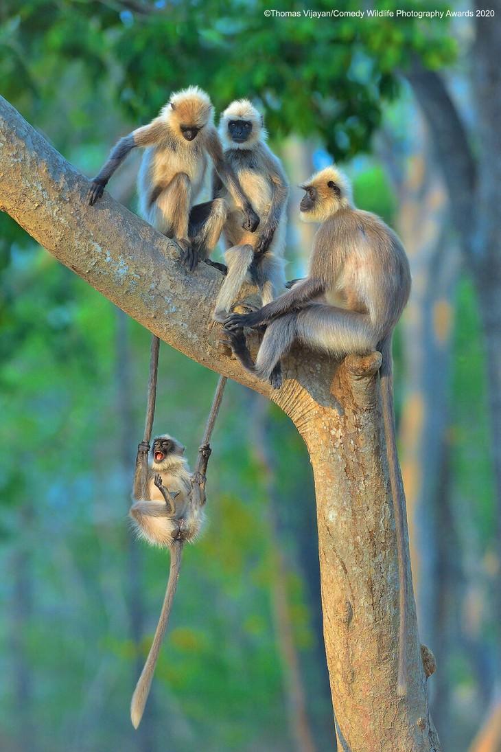 תמונות מצחיקות של חיות: קופים על עץ ליד קוף על נדנדה מענפים