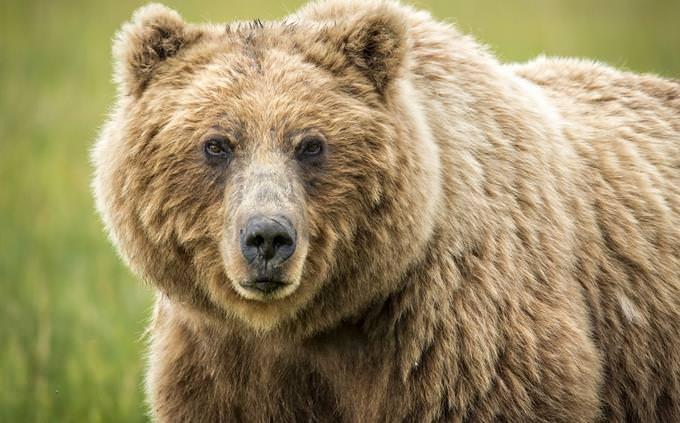 נכון או לא נכון על חיות: דוב גזירלי