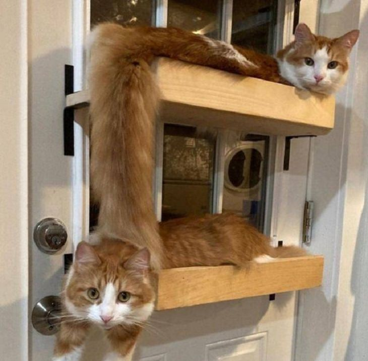 תמונות שצולמו בזמן הנכון: 2 חתולים יושבים על מדפים ונראים כמו חתול אחד ארוך