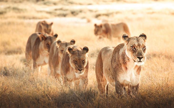 תחרות צילום עולם החי 2020: לביואת בסוואנה