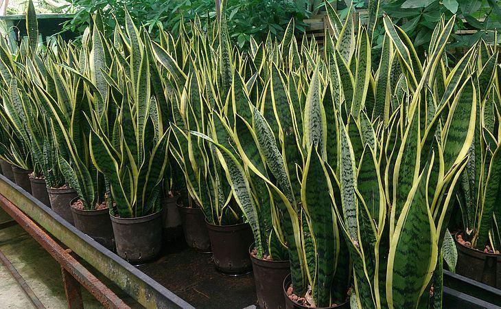 צמחים שאפשר לגדל במשרד: עציצים של לשון החותנת