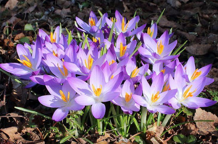 פרחי-חורף: פרחי כרכומים בגוונים סגול-לבן