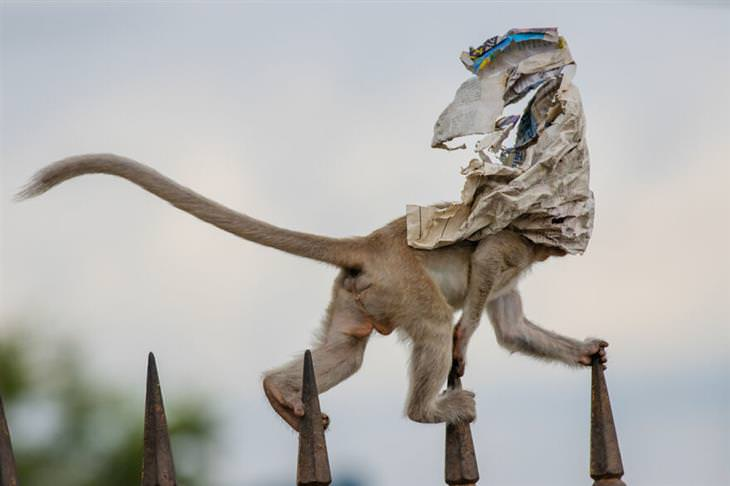 תמונות זוכות מתחרות צלם הטבע לשנת 2020: קוף צועד על גבי גדר, ועיתון מכסה את פניו