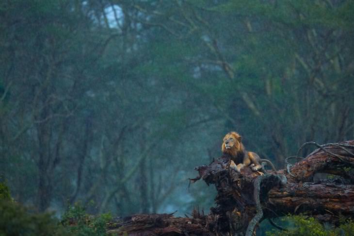 תמונות זוכות מתחרות צלם הטבע לשנת 2020: אריה יושב על גזע עץ נפול בגשם
