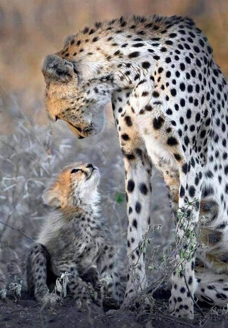 תמונות של אהבה בין אימא לילדים בעולם החי: צ'יטה מסתכלת על הגור שלה מלמעלה