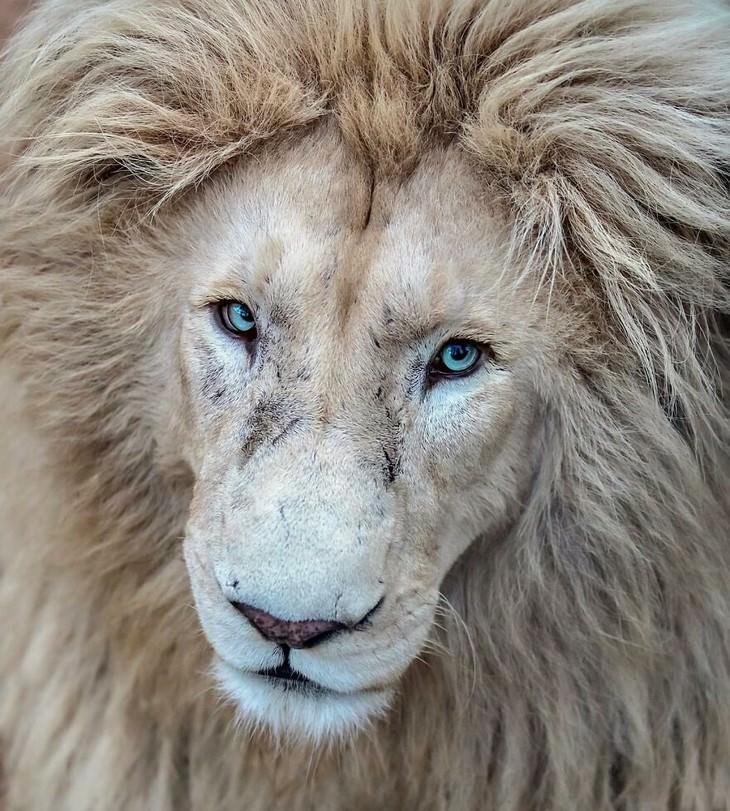 תמונות של אריות ולביאות