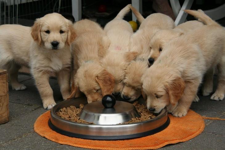 טיפול בכלבים בחורף: גורי כלבים אוכלים