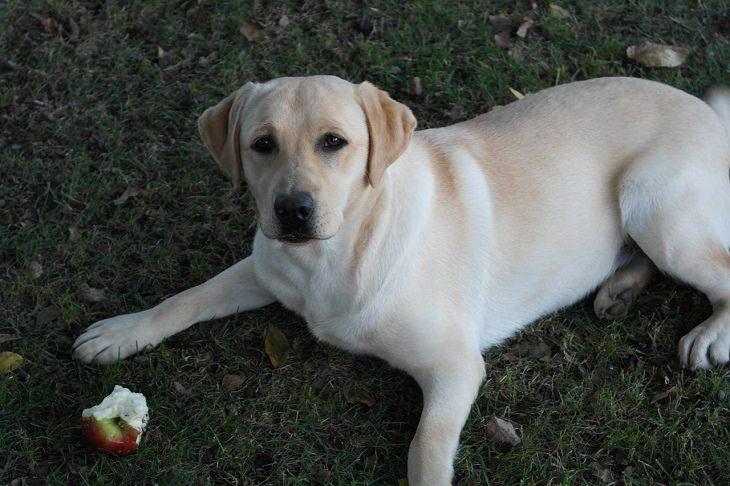 פירות וירקות מומלצים ואסורים לכלבים: כלב רובץ ליד תפוח אכול