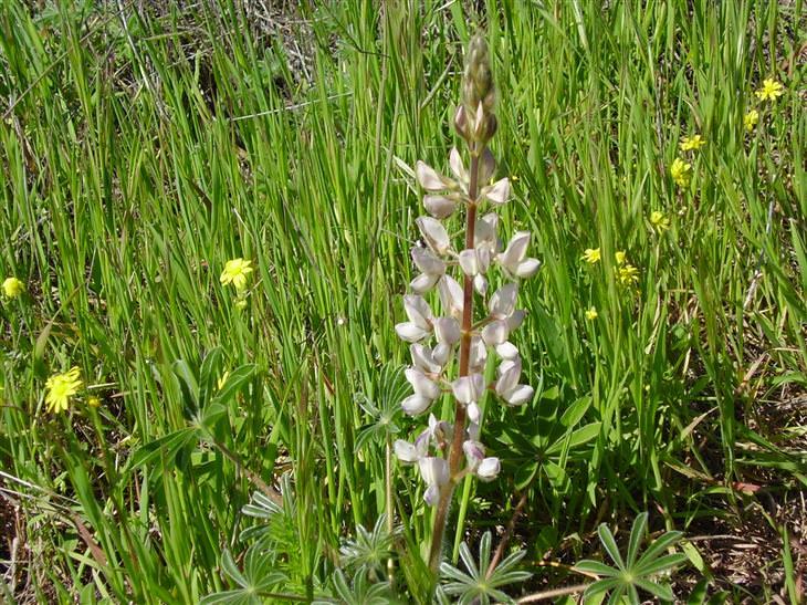 יתרונות התורמוס: צמח תורמוס ארץ ישראל