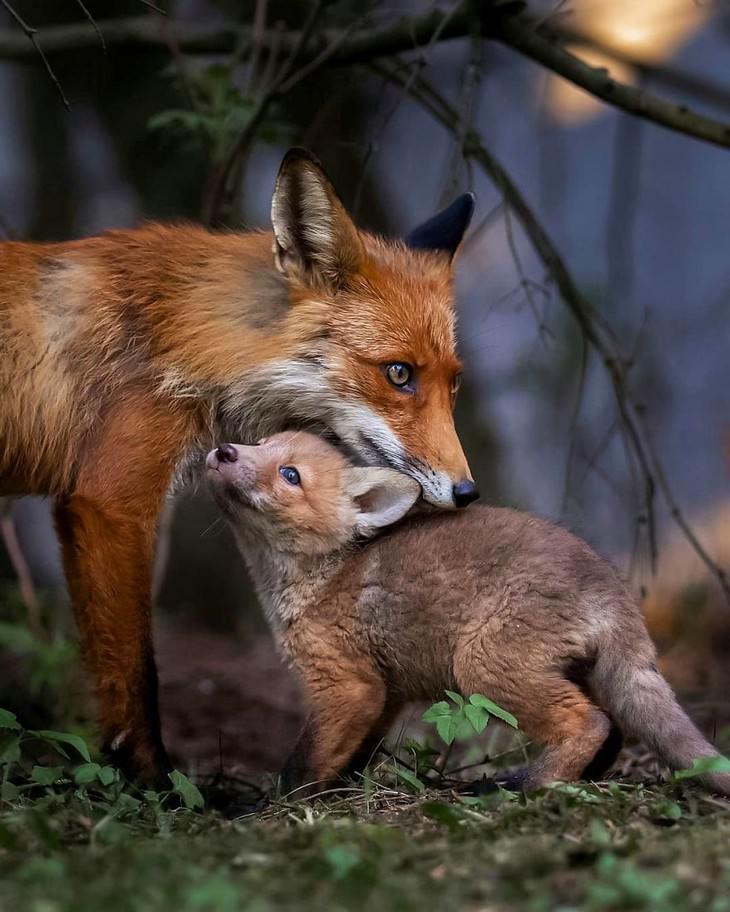 צילומי חיות מדהימים מפינלנד: שועלים