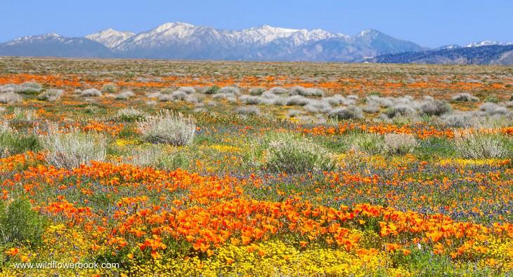 תמונות יפות של פרחים: פריחה של פרג קליפורניה ותורמוסים - עמק אנטילופ, קליפורניה