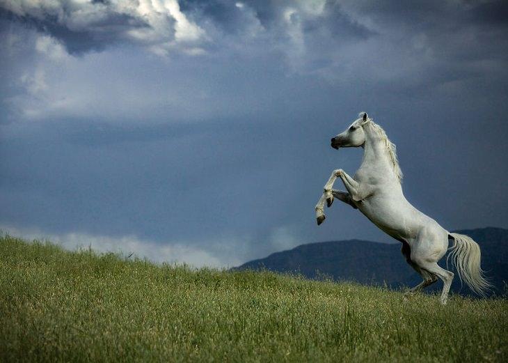 תמונות מתחרות צילום חיות בר לשנת 2020: סוס לבן מרים את רגליו, על רקע אחו ביום סגריר