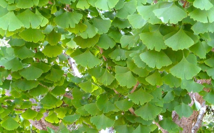 יתרונות של תמציות גינקו בליבואה: עלי עץ הגינקו בילובה