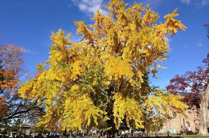 יתרונות של תמציות גינקו בליבואה: עץ הגינקו בילובה בסתיו