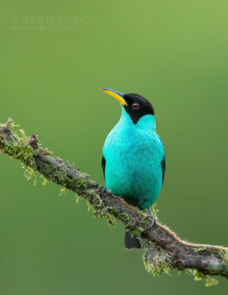 ציפורים מדהימות: Green Honeycreeper